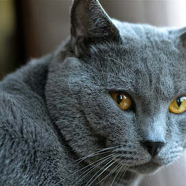 Hugo* Chartreux by Serge Ostrogradsky - Animals - Cats Portraits