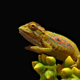 by Philip Kruger - Animals Reptiles (  )
