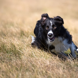 In action by Tomaz Lipicer - Animals - Dogs Running ( border collie, action, dog, sports dog, runing, agility )