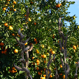 Orange Grove by Christie Schiffelbian - Nature Up Close Gardens & Produce ( orange, adana, orange grove, fresh, food, grow, orchard, turkey, grove, produce )