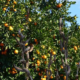 Orange Grove by Christie Schiffelbian - Nature Up Close Gardens & Produce ( orange, adana, orange grove, fresh, food, grow, orchard, turkey, grove, produce )