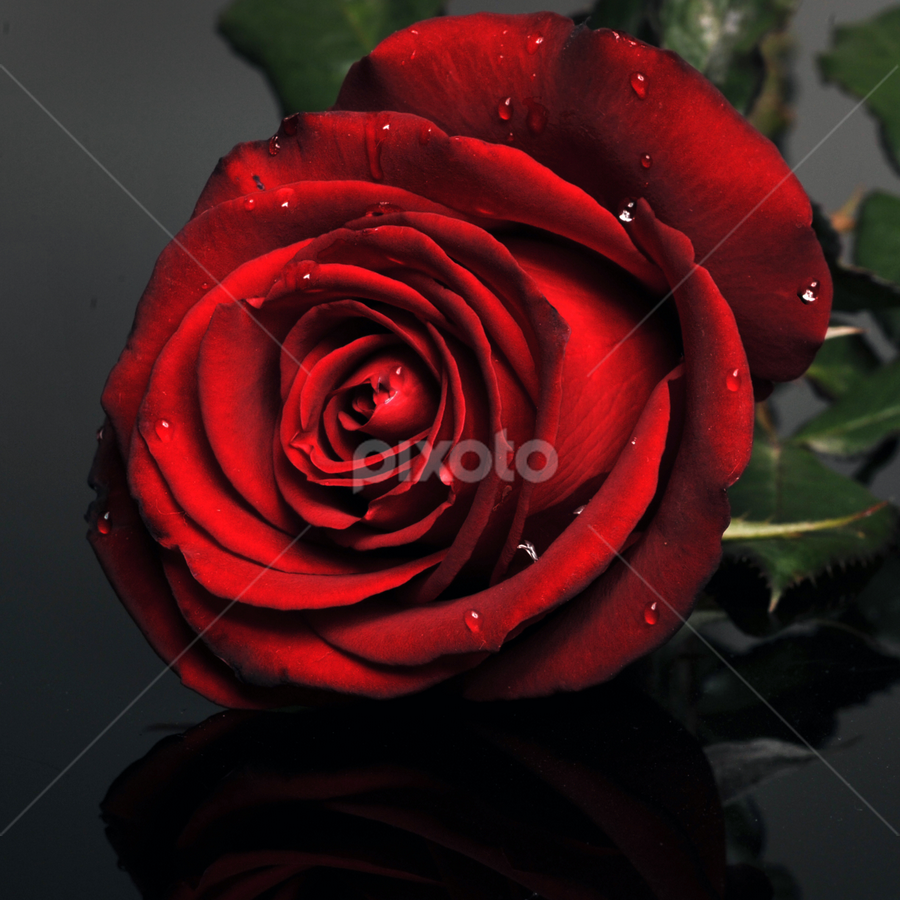 Dark red rose by Cristobal Garciaferro Rubio - Nature Up Close Flowers - 2011-2013