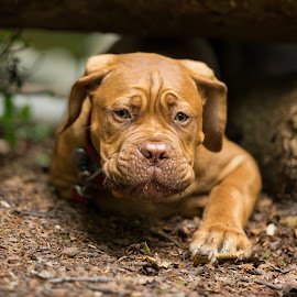Mason by Jenny Trigg - Animals - Dogs Puppies ( puppies, dogue de bordeaux, mastiff, puppy, dog )