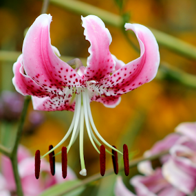 Lily in full Bloom by Leah Zisserson - Flowers Flower Gardens ( macro, lily, marshall, virginia, stamen, pink, garden,  )