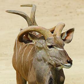 Kudu antelop by Gérard CHATENET - Animals Other Mammals