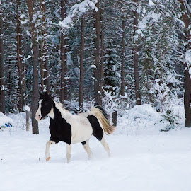 Running Horses by Anita Atta - Animals Horses ( galloping, winter, horses, snow, running, tennessee walkers )