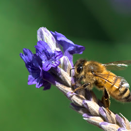 Bee on Lavender by Jim Downey - Animals Insects & Spiders ( macro, bees' knees, boken, lavender, honey bee )