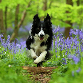 Bluebell Border by Gareth Evans - Animals - Dogs Running ( border collie, flowers, dog, woods, bluebells )