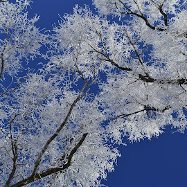 Heavy frost in the trees. by Denton Thaves - Nature Up Close Trees & Bushes ( frost )