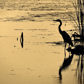 Game Of Life by Howard Sharper - Animals Other ( landscapes, wetlands, waterscape, reflections, silhouettes, morning )