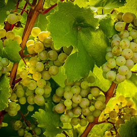 White Grapes by Ruth Sano - Nature Up Close Gardens & Produce ( vineyard, grapes, white, summer,  )
