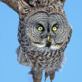 Owl Eyes by Mark Theriot - Animals Birds ( flight, 2013, owl, grey owl, eyes, close )