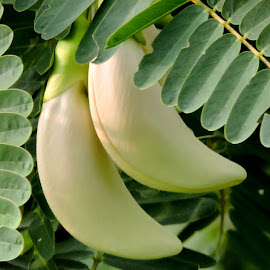 BOKPHUL by SANGEETA MENA  - Nature Up Close Gardens & Produce