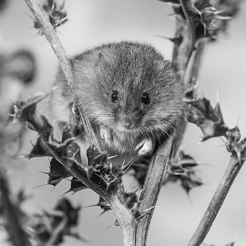 Mouse by Garry Chisholm - Black & White Animals ( macro, nature, rodent, plant, harvest mouse, mice, holly, garry chisholm )