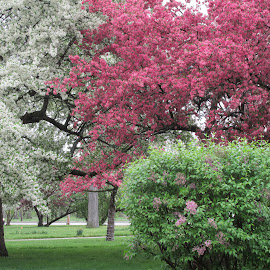 Saginaw Spring 2015 by Howard Sharper - Landscapes Travel ( nature, flowering tree, landscape photography, nature up close, landscape )