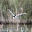Little Tern; Charrancito