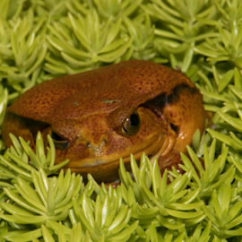 Lying low by Myra Brizendine Wilson - Animals Reptiles ( tomato frog, frog, retile, animal,  )