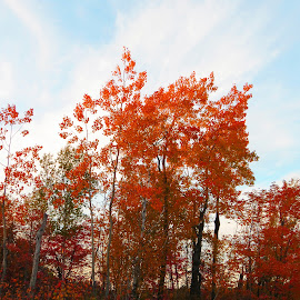 Autumn's Flames by Janet Herman - Nature Up Close Trees & Bushes ( colorful, autumn, bushes, fall, trees, nature up close )