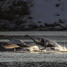 Cygnus cygnus take off by Lillian Knutsen Aspås - Animals Birds ( swans, white swans, whooper swans, young swans, cygnus cygnus )