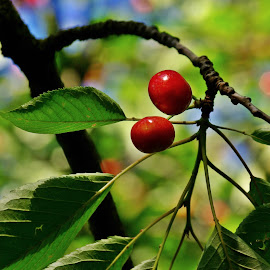 Le Temps des Cerises by Ciprian Apetrei - Nature Up Close Gardens & Produce ( nature up close, brittany, leaves, cherries, bokeh )