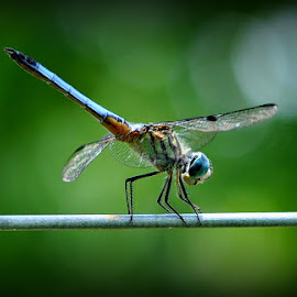 A Dragonfly by A.j. Amos - Animals Insects & Spiders ( nature, bug, wildlife, dragonfly, insect )