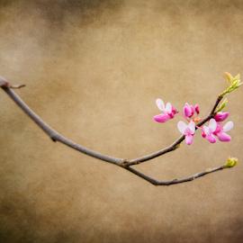 Spring Redbud Bloom by Bill Tiepelman - Digital Art Things ( tree, redbud, redbud bloom, texture, spring, redbud tree )
