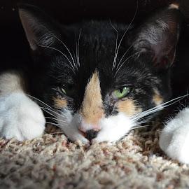 Little Debbie by Celia Burg - Animals - Cats Kittens