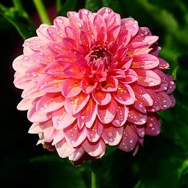 Pompon fuschia by Gérard CHATENET - Flowers Single Flower
