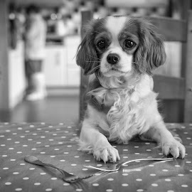 Another One For Dinner? by Dan Horton-Szar ARPS - Black & White Animals ( cavalier, monochrome, black and white, dog, dinner, pet, table, funny )