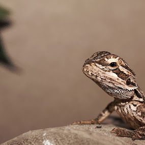Rango by Graeme Garton - Animals Reptiles ( rankin dragon, rankin, dragon, rango, basking, reptile, log )