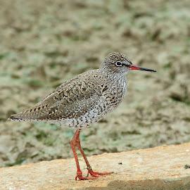 Chevalier by Gérard CHATENET - Animals Birds