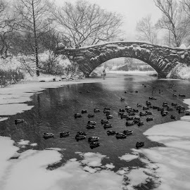 NYC Winter #6 by Tomasz Karasek - City,  Street & Park  City Parks ( winter, b&w, ice, snow, ducks, new york, nyc, bridge, central park )