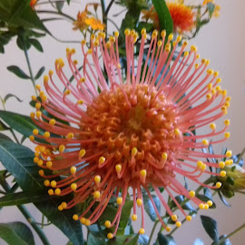 Orange flowers by Gay Reilly - Novices Only Flowers & Plants ( orange, protea, flower )