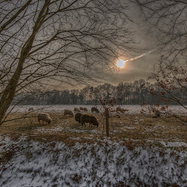 sheep in a meadow by Egon Zitter - Landscapes Prairies, Meadows & Fields ( animals, afternoon, dark, meadow, sheep )