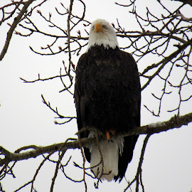 BALD EAGLE by Cynthia Dodd - Novices Only Wildlife ( eagle, outdoors, nature up close, birds, tree tops )