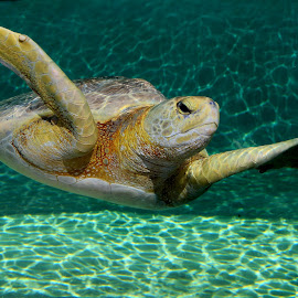 Tortue marine by Gérard CHATENET - Animals Sea Creatures