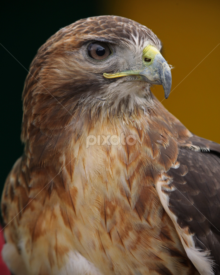 Lookout by John Walton - Animals Birds ( bird, eagle, heritagefocus, eye )