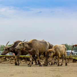 Life In Bagladesh by Ajwad Mohimin - Novices Only Landscapes ( buffalo, cowboy, blue sky, sky, bangladesh, nature, old man, life in bangladesh, cattle, landscape )