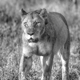 Lioness in the forest by Pravine Chester - Animals Lions, Tigers & Big Cats ( lion, monochrome, black and white, wildlife, animal )