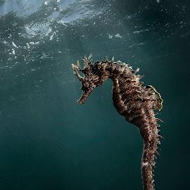 sea horse by Adi Drnda - Animals Fish ( animals, macro photography, underwater, sea, ocean )