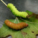 Luna Moth larva