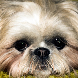 Beautiful Eyes by Joan Sharp - Animals - Dogs Portraits ( large eues, animal-dogs, shitzu, white and brown, portrait )