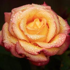 0 Rose 9698~ 1 by Raphael RaCcoon - Flowers Single Flower