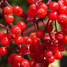 Pin Cherries by Tina Tippett - Nature Up Close Trees & Bushes ( nature up close, trees & bushes, beautiful red,  )