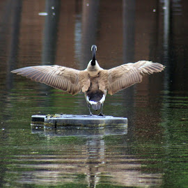 Wings span by Stephanie Lewis - Animals Birds ( water, reflection, wild life, wings, mirrior, canadian geese, outside, goose )