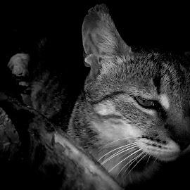 Live li by Aleksandra Radojičić - Animals - Cats Portraits ( #cat #nature #rest #black&white #portrete,  )