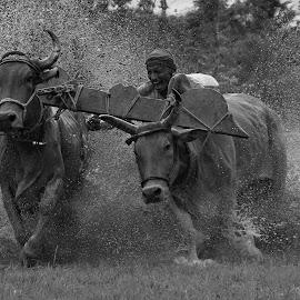 the winning moment by Abhishek Basak - Uncategorized All Uncategorized ( black and white, bull, people, race, animal )