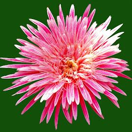 PINKY by SANGEETA MENA  - Flowers Single Flower