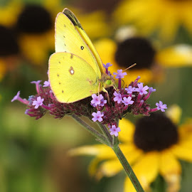 Sulfur Cove Island by Erika  Kiley - Novices Only Wildlife ( butterfly, yellow, flowers, garden )