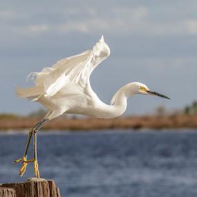 Snowy Egret Escape by Shutter Bay Photography - Animals Birds ( water, flight, nature, waterscape, action, egrets, birds, snowy egret )